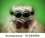 Frontal view of a jumping spider and its eyes - stock photo