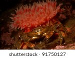 Dahlia anemone and velvet swimming crab - stock photo