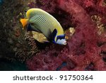 Emperor Angelfish with soft corals - stock photo