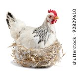 Broody hen in the nest.  Isolated - stock photo
