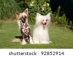 Portrait of two nice chinese crested dog - stock photo