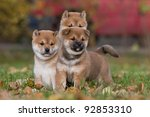 Three nice puppies - shiba-inu - stock photo