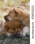 Two nice puppy - shiba-inu - stock photo