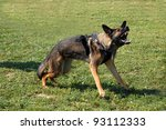 portrait of an aggressive  purebred german shepherd outdoors - stock photo