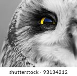 Portrait of the Short-eared Owl  (Asio flammeus). - stock photo