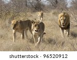 African Lion Pride (Panthera leo) walking through bush, South Africa. Male and females - stock photo