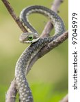 Juvenile Boomslang snake (Dispholidus typus) - stock photo