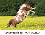 Nice paint horse in colza field - stock photo