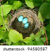 American Robin, the Michigan state bird, nest with three blue eggs - stock photo