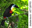 Beautiful toucan sitting on the branch - stock photo