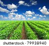 Green rows on field. Agricultural composition - stock photo