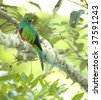 magnificent resplendent quetzal , san gerardo de dota, savegre mountain, costa rica - stock photo
