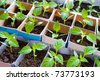 seedlings of bell pepper in cardboard boxes, at a window - stock photo